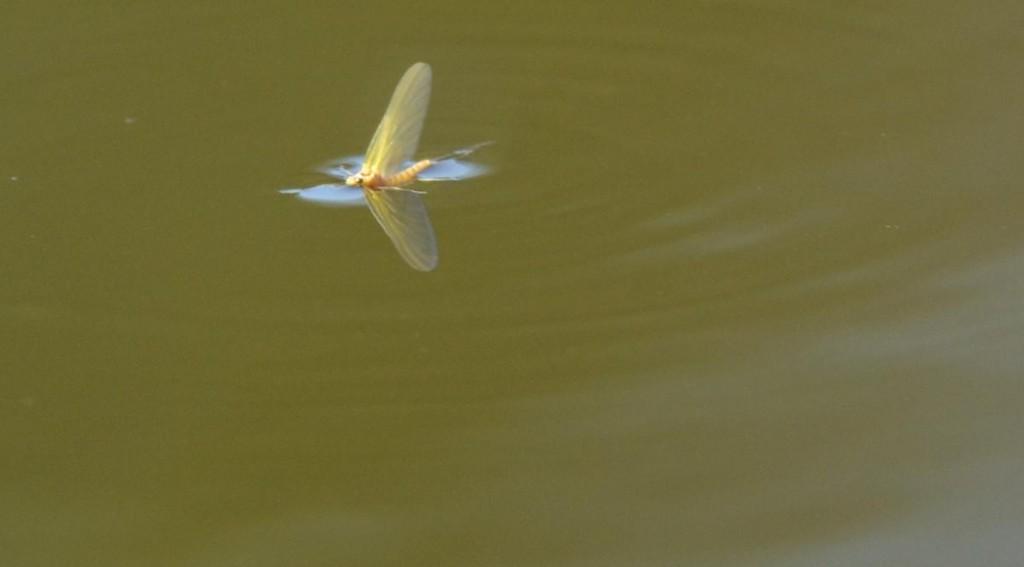 gul forsslända